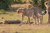 Cheetah_Cubs_Mara_Kenya_Asilia_20150241