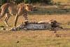 Cheetah_Cubs_Mara_Kenya_Asilia_20150184