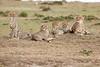 Cheetah_Family_Portraits_Mara_Kenya_Asilia_20150012