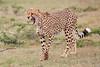 Cheetah_Mara_Asilia_Kenya0004