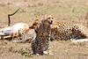 Cheetah_Feast_Mara_Kenya_Asilia_20150076