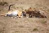 Cheetah_Feast_Mara_Kenya_Asilia_20150199
