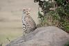 Cheetah_Cubs_Mara_Kenya_Asilia_20150119