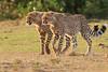 Cheetah_Cubs_Mara_Kenya_Asilia_20150245