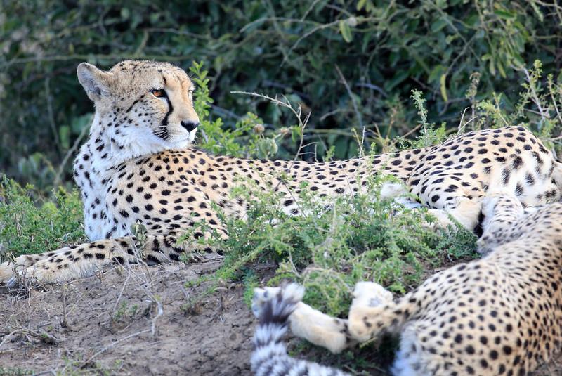 Cheetah_Family_Phinda_2016_0005