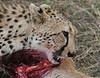 Cheetah Kenya Mara Kill