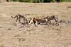 Cheetah_Feast_Mara_Kenya_Asilia_20150213