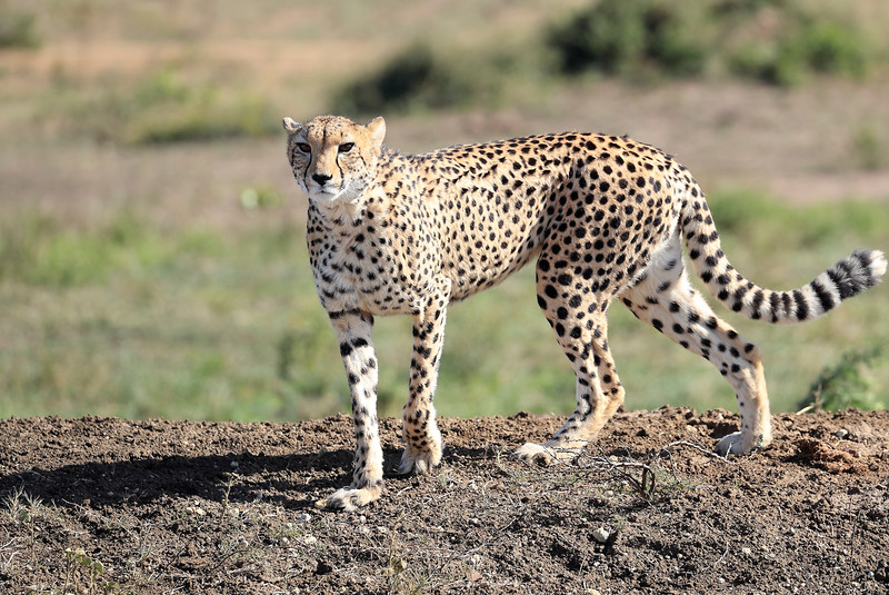 Cheetah_Family_Phinda_2016_0160
