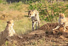 Cheetah_Adventure_Phinda_2016_0022