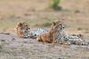 Cheetah_Cubs__Mara_Kenya_Asilia_20150003