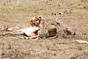 Cheetah_Feast_Mara_Kenya_Asilia_20150097