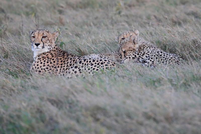 Cheetah_Family_Phinda_2016_0077