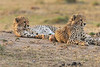 Cheetah_Cubs_Mara_Kenya_Asilia_20150256