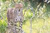 Cheetah_Mara_Asilia_Kenya0071