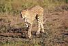 Cheetah_Family_Phinda_2016_0062