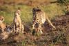 Cheetah_Adventure_Phinda_2016_0057