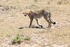 Cheetah_Feast_Mara_Kenya_Asilia_20150039