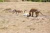 Cheetah_Feast_Mara_Kenya_Asilia_20150208