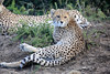 Cheetah_Family_Phinda_2016_0004