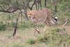 Cheetah_Mara_Asilia_Kenya0003