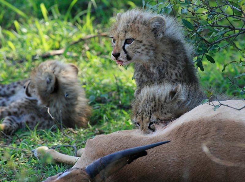Cheetah Cubs Family Feeding Phinda South Africa