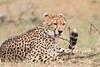 Cheetah_Mara_Asilia_Kenya0050