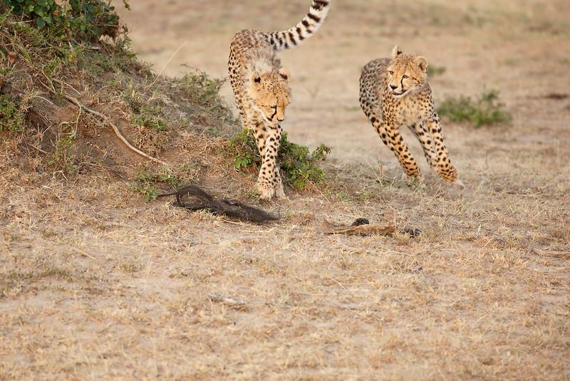 Cheetah_Cubs_Mara_Kenya_Asilia_20150167