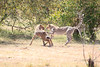 Cheetah_Cubs_Mara_Kenya_Asilia_20150048
