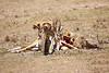 Cheetah_Feast_Mara_Kenya_Asilia_20150123