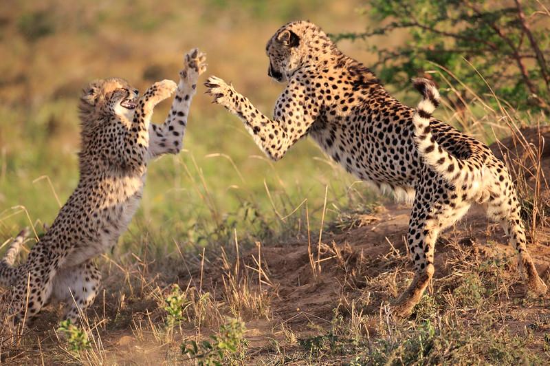 Cheetah_Adventure_Phinda_2016_0058