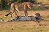 Cheetah_Cubs_Mara_Kenya_Asilia_20150187