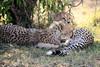 Cheetah_Cubs_Mara_Kenya_Asilia_20150065
