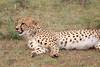 Cheetah_Mara_Asilia_Kenya0013