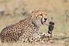 Cheetah_Mara_Asilia_Kenya0049