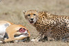 Cheetah_Feast_Mara_Kenya_Asilia_20150239