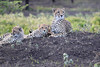 Cheetah_Family_Phinda_2016_0106