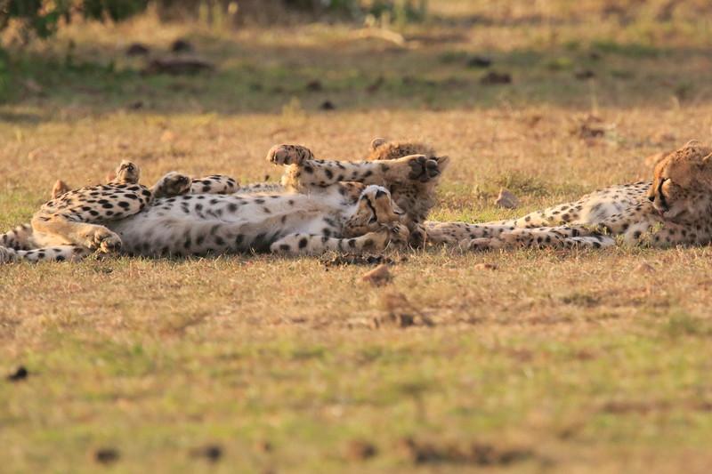 Cheetah_Cubs_Mara_Kenya_Asilia_20150194