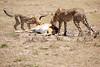 Cheetah_Feast_Mara_Kenya_Asilia_20150210