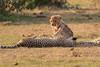 Cheetah_Cubs_Mara_Kenya_Asilia_20150224