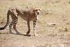 Cheetah_Feast_Mara_Kenya_Asilia_20150229
