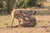 Cheetah_Cubs_Mara_Kenya_Asilia_20150228