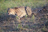 Cheetah_Adventure_Phinda_2016_0104