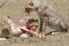 Cheetah_Feast_Mara_Kenya_Asilia_20150265