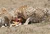Cheetah_Feast_Mara_Kenya_Asilia_20150251
