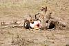 Cheetah_Feast_Mara_Kenya_Asilia_20150100