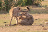 Cheetah_Cubs_Mara_Kenya_Asilia_20150230