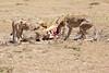 Cheetah_Feast_Mara_Kenya_Asilia_20150062
