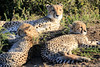 Cheetah_Family_Phinda_2016_0021
