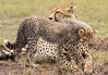 Cheetah Cub Mom Mara Topi House