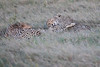 Cheetah_Family_Phinda_2016_0097